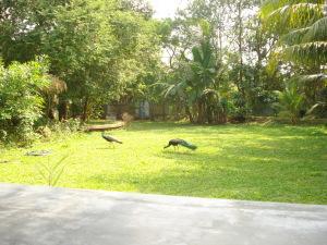 Wild Peacocks in the backyard